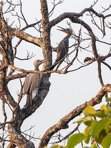 Skiferspett / Great Slaty Woodpecker Tmatboey; Kambodja 19.1.2020 Canon  5D Mark IV + EF 500mm f/4L IS II USM + 1.4x Ext