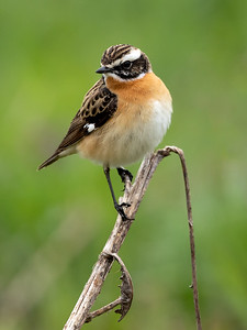Buskskvett / Whinchat Huseby, Lier 10.5.2020 Canon  5D Mark IV + EF 500mm f/4L IS II USM + 1.4x Ext