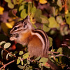 Chipmunk at Bryce Canyon