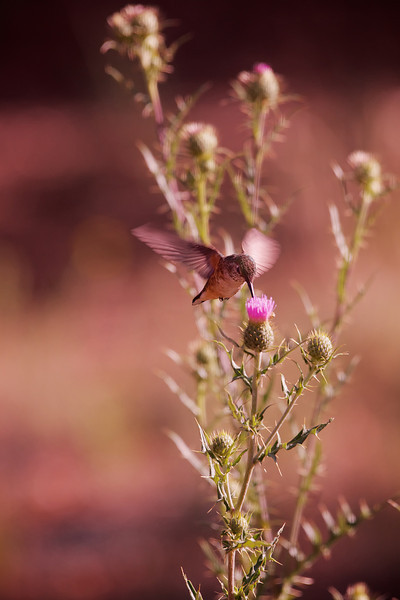 Hummingbird at the Grand Canyon
