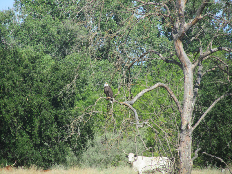 June 20th - Bald eagle + Cow... taken from the canoe on the Sacramento River.