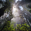Morning Light in the Redwoods - California
