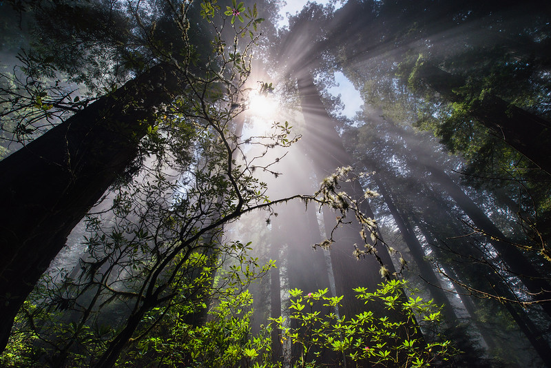 Morning Light in the Redwoods - California