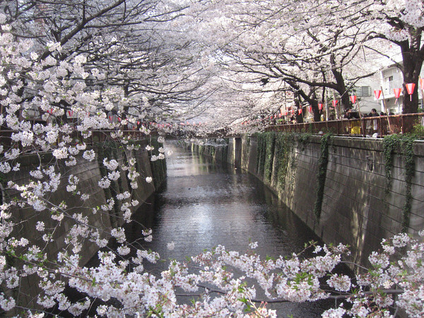 """From Nakameguro to Everywhere."" Cherry blossoms line the Meguro River."