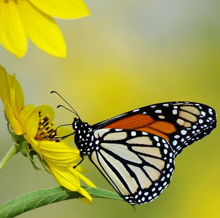 Monarch Butterfly taken in a field near my home in Kyle, Texas.