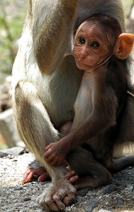Baby monkey breast feeding at Elephant Island India: He looks incredibly old for a baby though.