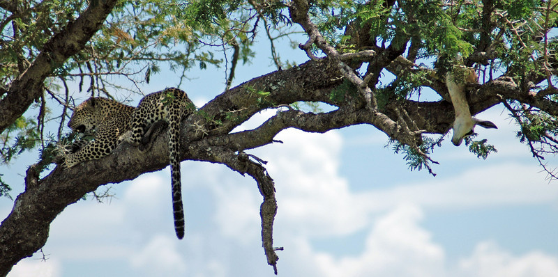 Serengeti, Tanzania One of the few Leopards that i saw while i was in Africa.  He had just caught the baby Impala and hung in in a tree 10 feet above the ground, out of reach for most lions.  He then took a short nap before eating lunch.