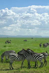 Zebra herd Serengeti Tanzania. The Zebras rest their head on each other backs so that they can see potential danger from any direction.