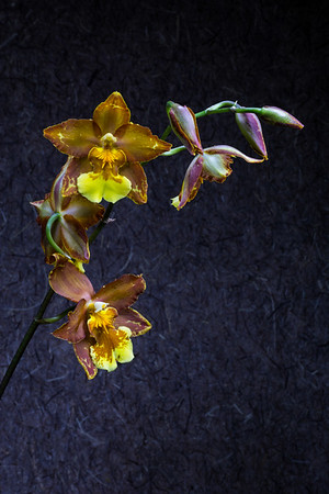 """Painting an Orchid with Light  A darkened room, tripod, and small directional LED light are required for """"light painting"""". Camera exposures of 20 seconds or more allow enough time to """"brush"""" strokes of light in 3 dimensions, much as an artist paints a scene. Four or more separate photos are then layered and blended with Photoshop to create the final work of art!  Longwood Gardens Kennett Square, PA"""