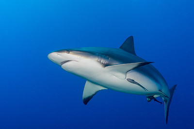 Gray Reef Shark  Kara Kara (Face to Face), Roatan