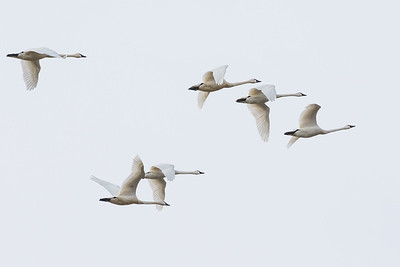 Tundra Swans fly in graceful formation.  Middle Creek Wildlife Management Area Stevens, PA