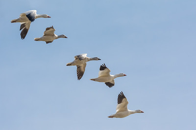 Snow Geese   In the middle of February 2018, there are now an estimated 100,000 snow geese at Middle Creek!  They are enjoying the moderating temperatures, as much of the lake is now open water.  Middle Creek Wildlife Management Area Stevens, PA