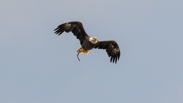 Bald Eagle with catch of the day  The solar eclipse plus a release of water at the Conowingo Dam conspired to create perfect feeding conditions for this Bald Eagle.  Conowingo, MD
