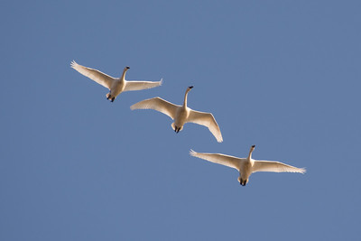 Tundra Swans are illuminated by a high overhead sun.  Middle Creek Wildlife Management Area Stevens, PA