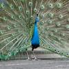 Peacock in Cuernevaca, Mexico