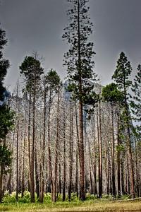 Trees - Yosemite