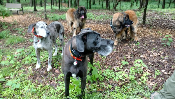 I love surprises!  I never mentioned it before but Yulee and I are friends with the two sweetest Great Danes and frequently we went on double dates with them.  Today Lily and Sadie came to see me and we had so much fun!  They didn't even care that I had one big super leg up front.