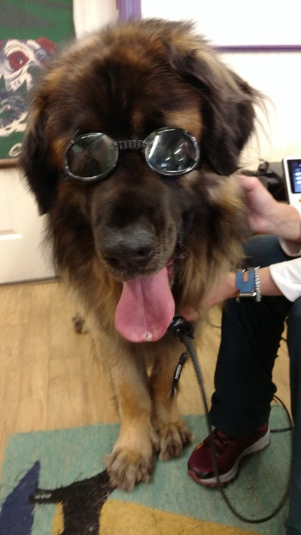 ...it was Yulee's turn to have a laser therapy treatment (just so he won't feel left out).  The laser has a strong beam which is good for healing the body and you don't want the beam going into your eyes, but he thinks the shades make him look cool.