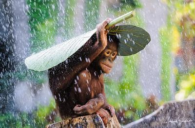 Orangutan in The Rain