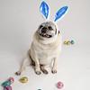 4475-EasterPugs-008