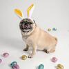 4475-EasterPugs-002