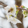 Japanese Flowering Cherry, with bee