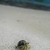 crab_ccc8817