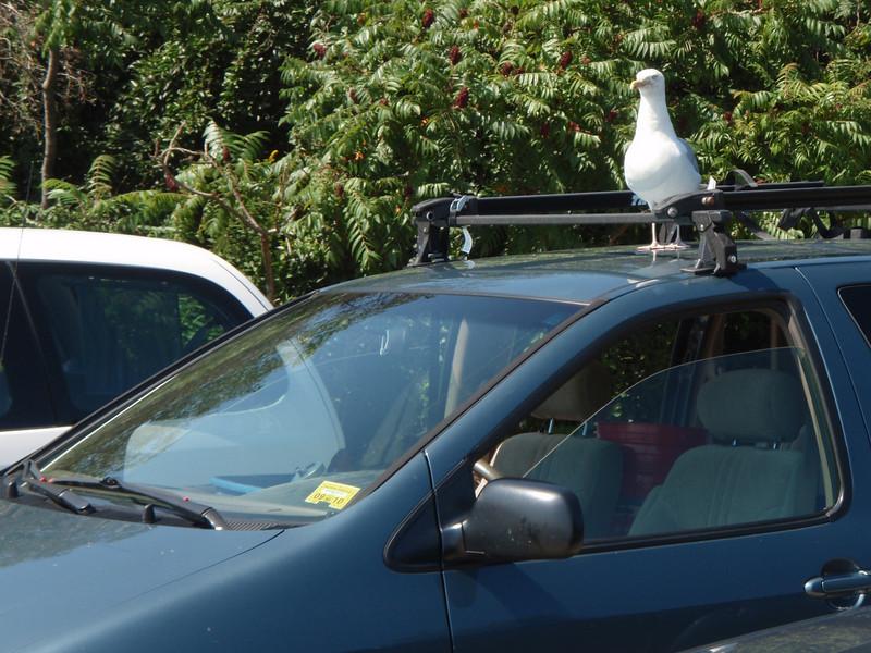 Killer attack seagull