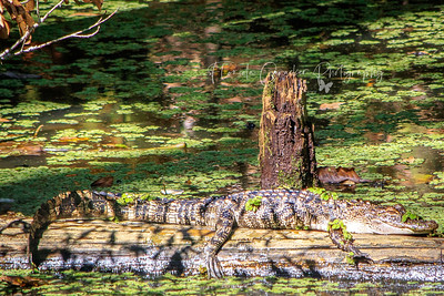 Gator in bayou behind the outpost
