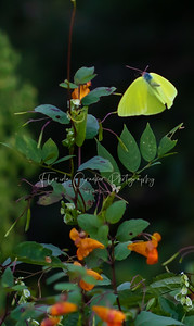 Yellow Butterfly on Smoky Mountain Wildflowers