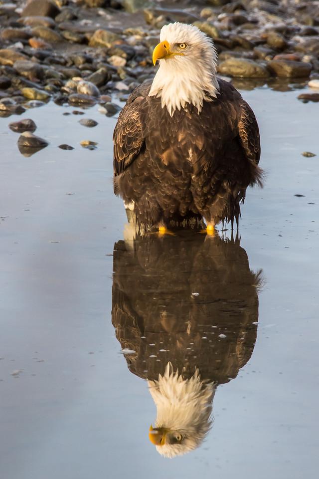 """ALASKA EAGLES 0321<br /> <br /> """"Bald Eagle's Morning Reflection""""<br /> <br /> Chilkat River - Haines, AK"""