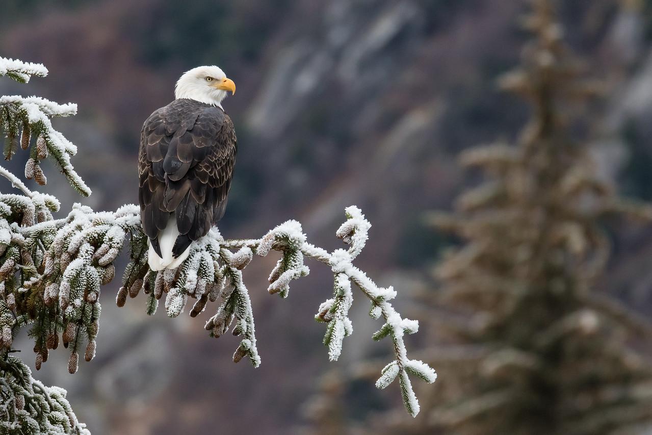 "ALASKA EAGLES 9575<br /> <br /> ""Chilkoot Lake Eagle 01""<br /> <br /> Haines, AK"
