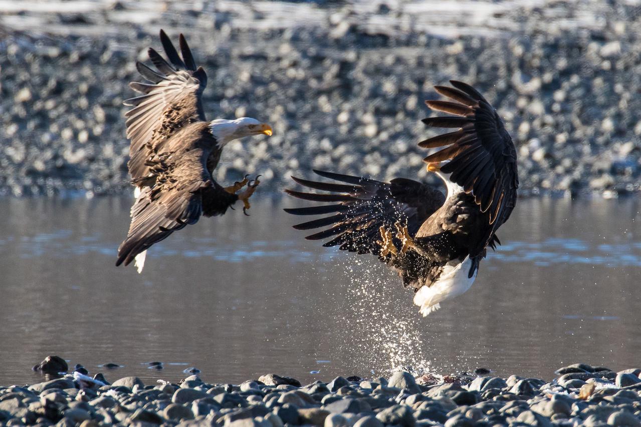 """ALASKA EAGLES 9452<br /> <br /> """"Eagle Attack!""""<br /> <br /> Chilkat River - Haines, AK"""