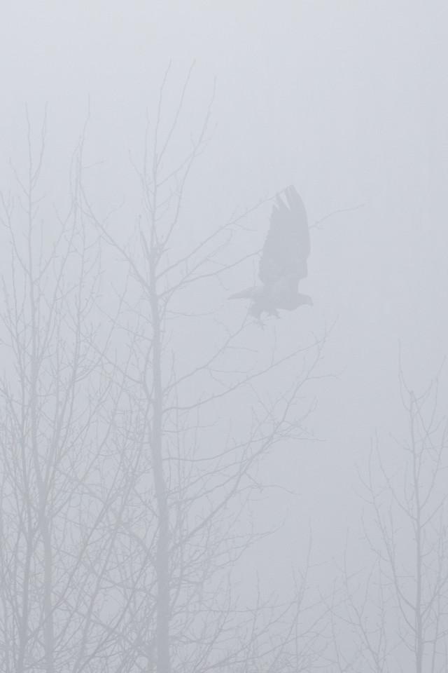 """ALASKA EAGLES 0534<br /> <br /> """"Taking flight in the fog""""<br /> <br /> Chilkat River - Haines, AK"""