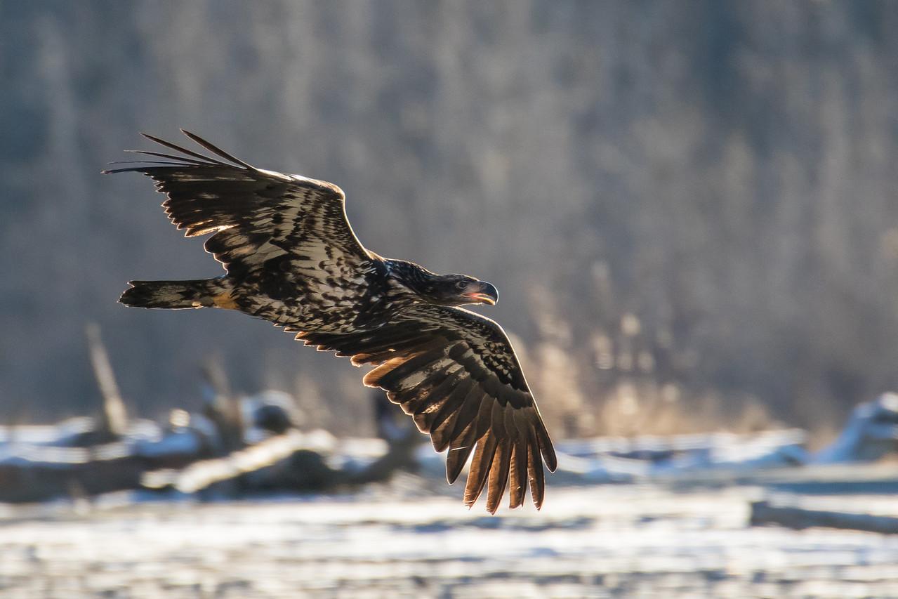 "ALASKA EAGLES 9130<br /> <br /> ""Immature in flight""<br /> <br /> Chilkat River - Haines, AK"