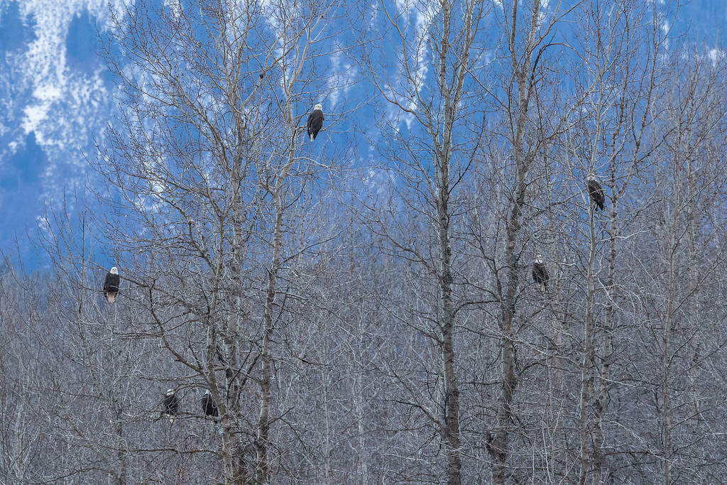 """ALASKA EAGLES 9232<br /> <br /> """"Eagles in the Aspens""""<br /> <br /> Chilkat River - Haines, AK"""