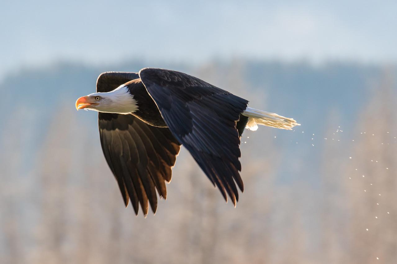 """ALASKA EAGLES 9433<br /> <br /> """"Afternoon Flight in the Alaska Chilkat Bald Eagle Preserve""""<br /> <br /> Chilkat River - Haines, AK"""