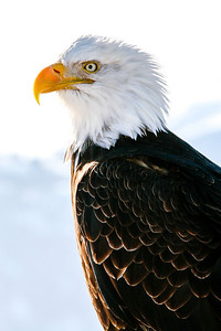 "ALASKA EAGLES 9447  ""Regal Eagle""  Homer, AK"