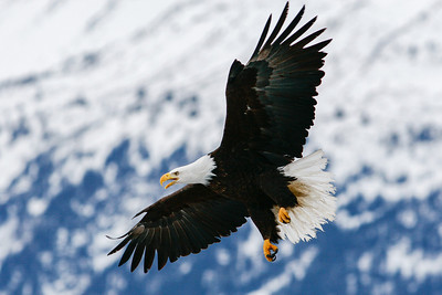 "ALASKA EAGLES 1520  ""Soaring eagle over the Kenai Mountains""  Homer, AK"