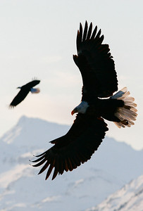 "ALASKA EAGLES 0223  ""Two eagles at sunrise""  Homer, AK"