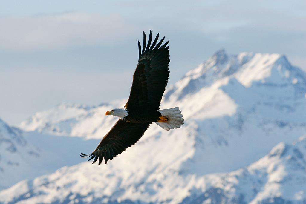 """ALASKA EAGLES 9749<br /> <br /> """"Morning Flight""""<br /> <br /> Homer, AK"""