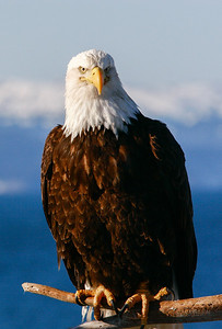 "ALASKA EAGLES 0868  ""Perfect Pose""  Homer, AK"