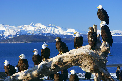 "ALASKA EAGLES 0755  ""The Eagles of Homer, Alaska"""