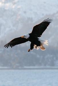 """ALASKA EAGLES 0209  """"Morning Flight""""  Homer, AK"""