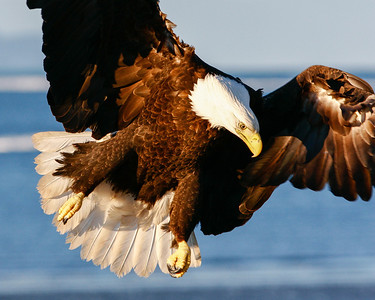 "ALASKA EAGLES 1209  ""Ready to land""  Homer, AK"