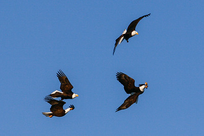 """ALASKA EAGLES 0269  """"The chase is on""""  Homer, AK  4 eagles competing for one piece of fish in mid-air."""