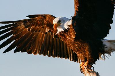 "ALASKA EAGLES 0679  ""Spreading my wings""  Homer, AK"