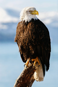 "ALASKA EAGLES 9932  ""Portrait of an eagle""  Homer, AK"