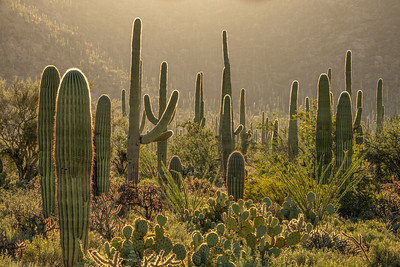 """Morning in Saguaro West"""