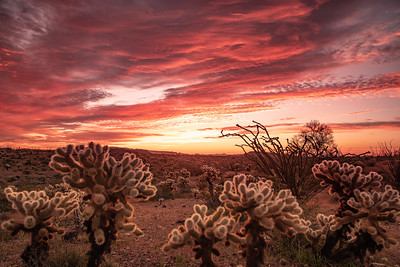 """Cholla Sunrise in Kofa"""